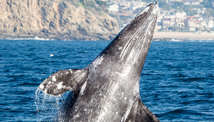 GRAY WHALE MIGRATION-$20 WHALE WATCH