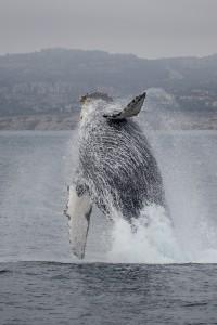 Whales in Newport Beach